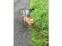 Lakeland terrier dog lost