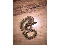 Male cinnamon pinstripe Royal Python snake