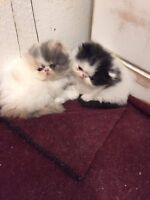 Chatons persans 1 mâle et 1 femelle
