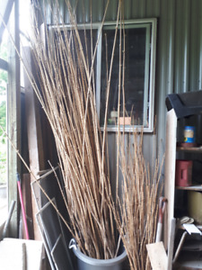 Bamboo stalks for sale
