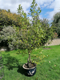 Bay tree 11ft plant (ono)