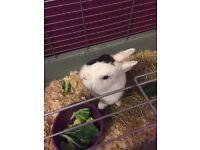 Netherlands dwarf rabbit