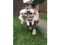 2 gorgeous Japanese Spitz X Shih Tzu puppies