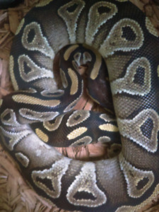 URGENT! 2 FEMALE BALL PYTHONS FOR SALE! NEED GONE ASAP!