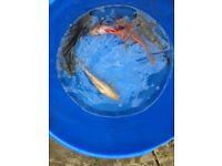 Various pond fish, gold fish, koi etc