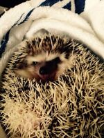 Cute 1 year old hedgehog for sale to a great home!!