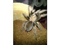 Desert blonde tarantula and set up
