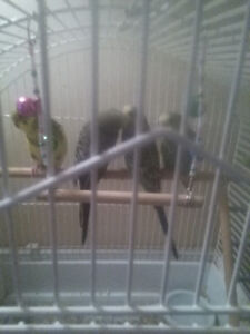 1 Baby budgie left to go now 7 weeks old