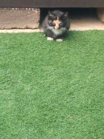 Kittens. Persian x short haired british