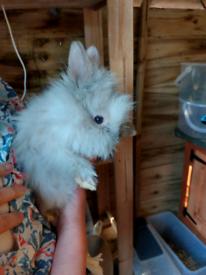 5 Double Mane Lionhead Rabbits for Sale