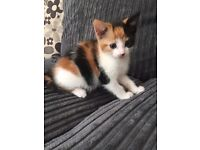 GORGEOUS 8 WEEK OLD KITTENS. KEIGHLEY AREA
