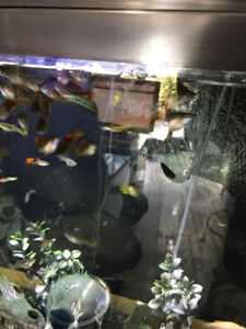 Large, Colourful Adult Swordtail & Mixed Guppies Fish
