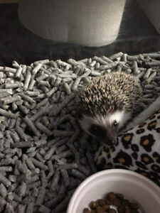 Pair of Hedgehogs for sale.
