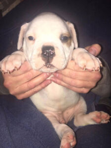 REGISTERED AMERICAN BULLDOG PUPPIES READY FOR CHRISTMAS!