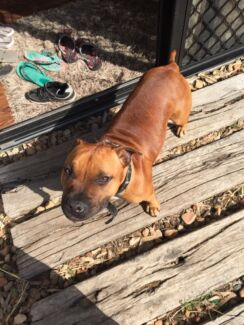 8 month old pup pure bred English staffy Mooloolah Valley Caloundra Area Preview