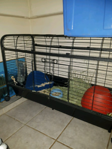 Female calico guinea pig for sale with cage and accessories