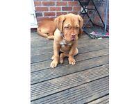 Dog de Bordeaux female puppy for sale