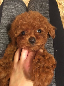 ❤cute tiny red poodle pupies ready to go new home~~~~