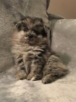 Unique adorable blue merle Pom puppies