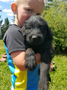 F1 Labradoodle pups available now!!!