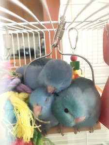 Baby Pacific Parrotlets - Females