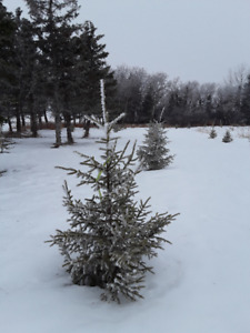 Wild   Spruce  Trees for Sale