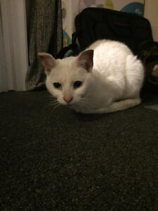 Found Male Cat - White Shorthair