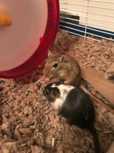 2 Female Gerbils, Looking for a Good Home!