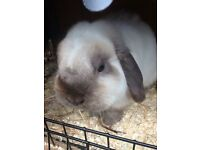 Neutered seal point lop buck for sale