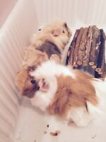 Guinea pig sisters and cage