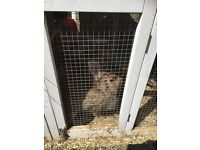 3 X Lionhead Rabbits and Cage for sale