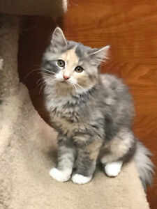 Kittens for adoption- fixed/vaccinated/microchipped