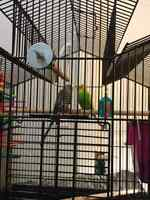 Two Budgies and a pair of Breeding Fisher Lovebirds