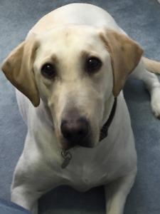 Labrador Retriever looking for a loving family