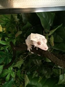 Male crested gecko with huge exo terra enclosure and stand.
