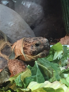 Female Russian Tortoise