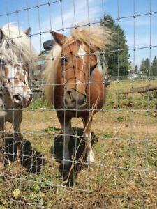 miniature horse $450 FIRM  AMERICAN SHETLAND 12 HH PONY  $1250