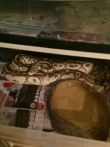3 Adult Ball pythons, Proven Breeders. 500$ for All