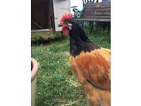 Vorwerk rooster for sale