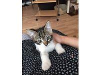 Lost kitten,only 3 months old,reward for return