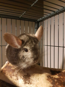 7 yr old chinchilla with cage. OBO