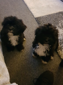Shichon (teddy bear) babies ready now