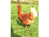 Laying chickens/pullets for sale