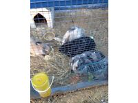 3 female harlequin rabbits and large hutch +run