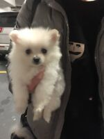 SuperCute TEACUP Pomeranian Puppy*ONLY ONE*