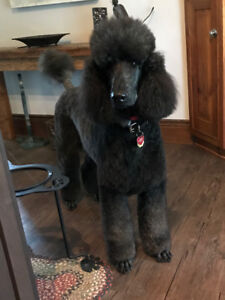 Lost Standard Poodle - Contact 519-570-5010 if seen