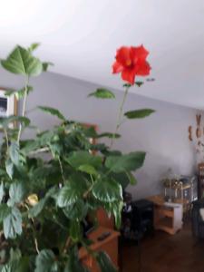 Hibiscus arbre intérieur 5 pieds de hauteur