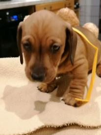 Daschund pups for sale