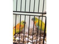 Turquoisine parakeet for sale