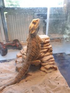 Bearded dragon ( sold)